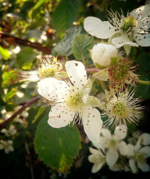 Frambozenstruik in bloei