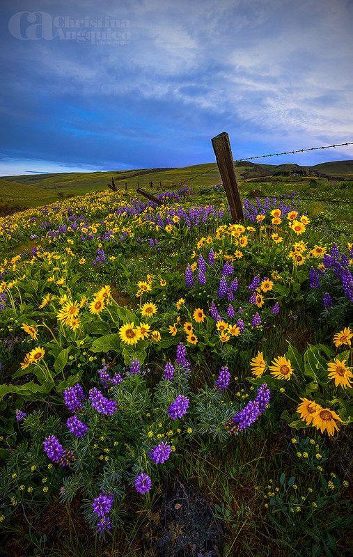wildflowers, Columbia Hills State Park, Washington