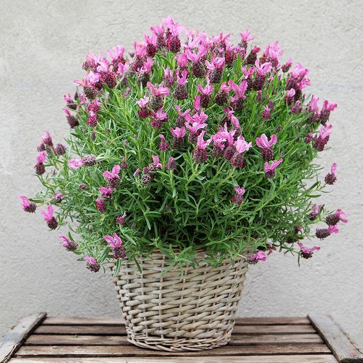 La lavanda, una planta de aroma inconfundible, perfecta para decorar cualquier rincón de casa.  Viene presentada con una cesta de mimbre. Envío a domicilio en Madrid. lavander.