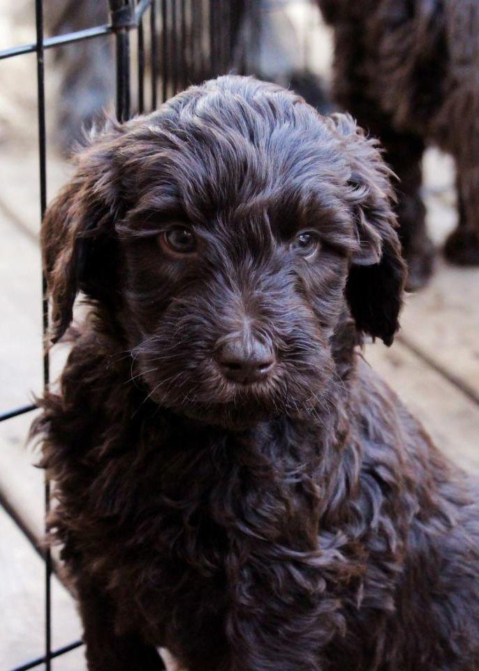 chocolate australian           labradoodle puppies