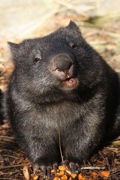 ctsuddeth.com: wombat, cutest animal on planet earth