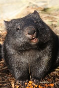 wombat, cutest animal on planet earth