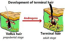 Terminal hairs are thick, long, and dark, as compared with vellus hair.[1] During puberty, the increase in androgenic hormone levels causes vellus hair to be replaced with terminal hair in certain parts of the human body. Photo: Comparison of the vellus hair (left) to the terminal hair (right) in humans. Notice the presence of subcutaneous tissue. -Kubek15/Slave - File:Androgensensibilitaet.JPG