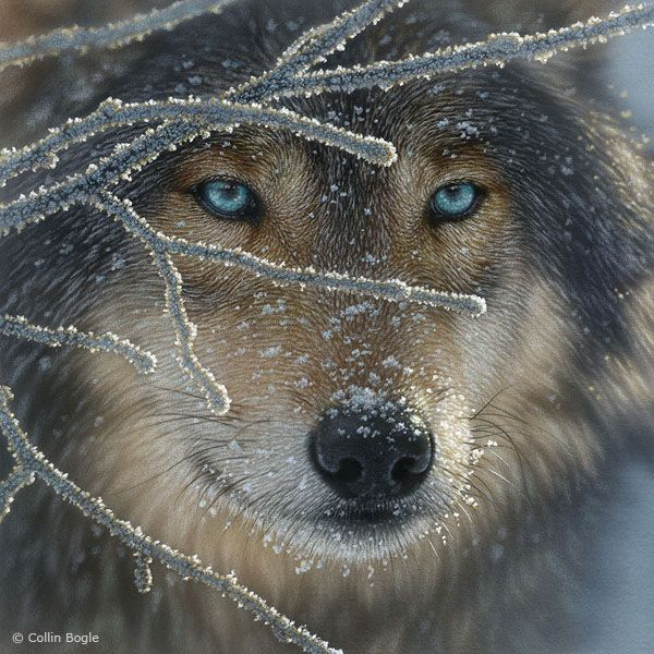 Beautiful eyes - the wolf, so misunderstood and so majestic!                                                                                                                                                                                 Mehr