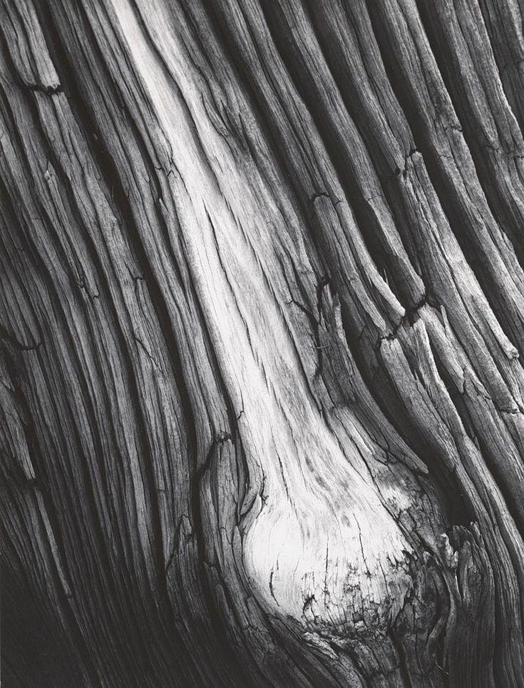 Detail, Juniper Wood, Sierra Nevada, California (1936)