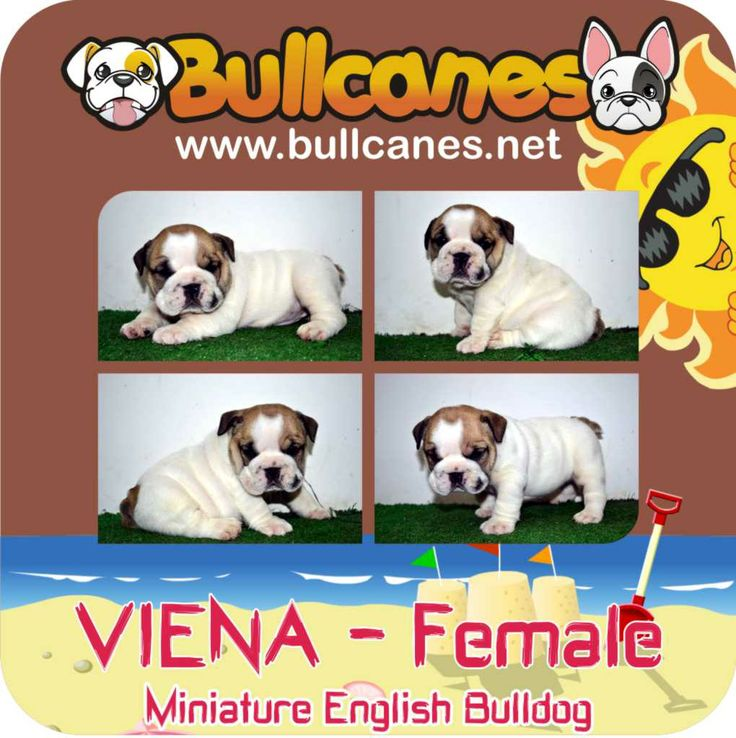 VIENA MINIATURE ENGLISH BULLDOG PUPPIES http://www.bullcanes.net / ceo@bullcanes.net / Facebook: bullcanes1@hotmail.com / instagram: @BULLCANES Bulldog puppies for Sale / Twiter: bullcanes1 / YouTube: Bullcanes Bulldog Kennel