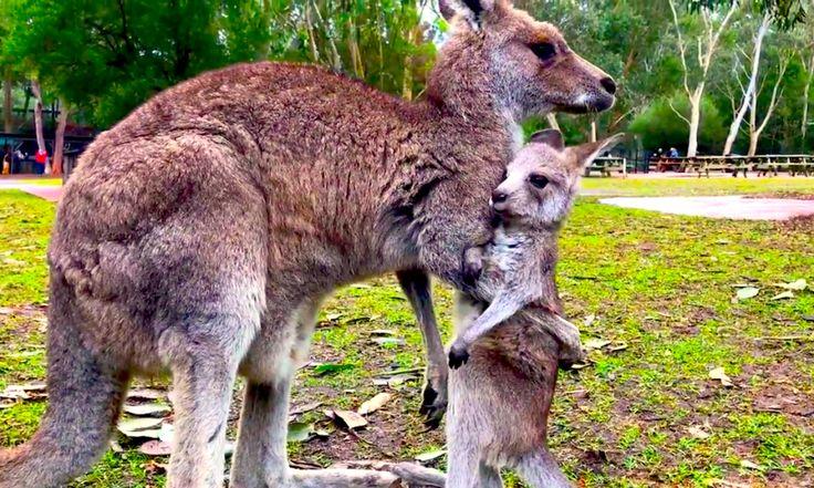 Conoce A Este Gracioso Bebé Canguro