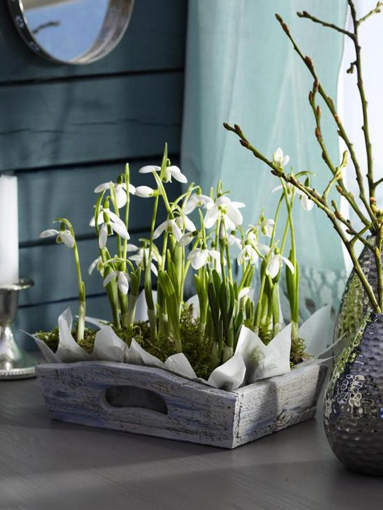Snowdrops in a wooden crate