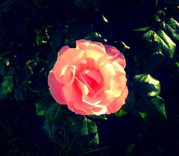 Cogli la mia rosa di niente.
