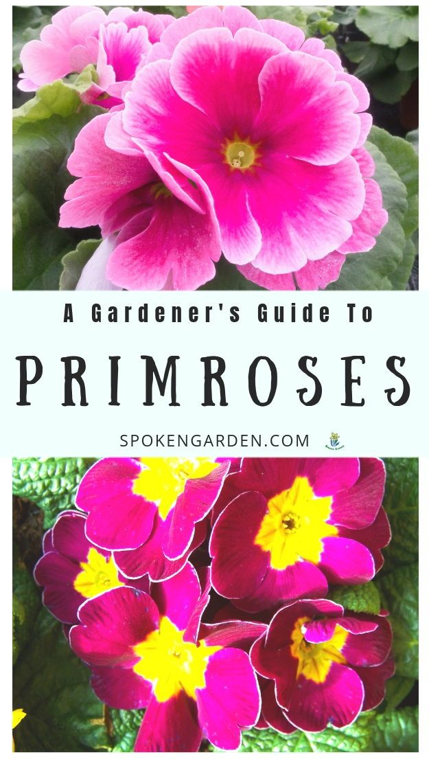 Primrose A Gardener S Guide And Plant Profile Spoken Garden Primrose Plant Early Spring Flowers Flower Garden Design