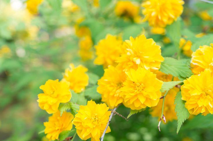 Ranunkelstrauch (Kerria japonica) – Pflege, Pflanzen und Schneiden