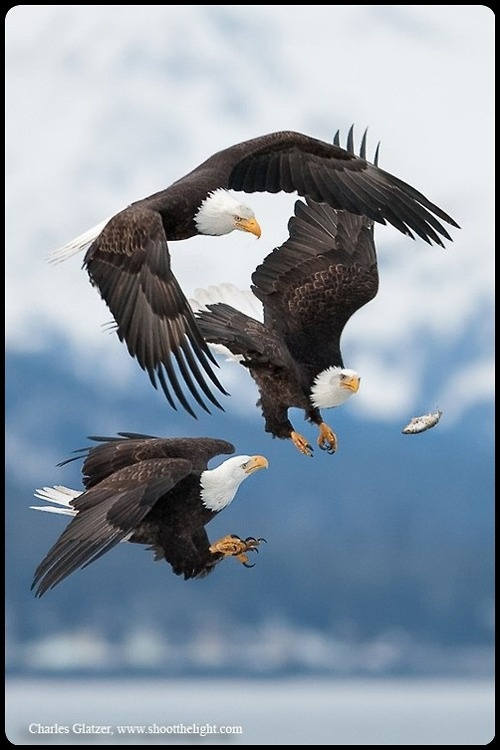 Bald Eagles, even though they are off the endangered list here in Ohio, they are still magnificent to see and we have several nests right here in Wyandot Co.