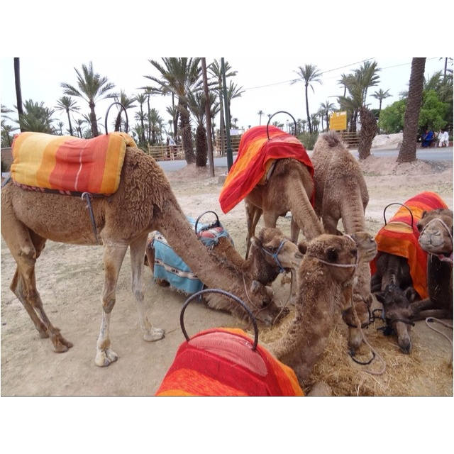 Feed the dromedaries ...