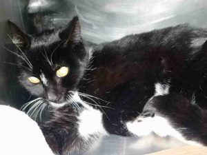 Super Urgent Manhattan - SQUIREL - #A1100757 - IS A VICTIM OF A 3 STORY HI-RISE FALL. SHE IS ABOUT 3 YRS OLD AND HAS SOME FRACTURES - LAMENESS ON FRONT RIGHT LEG - SOME TRAUMA - AND POSS OTHER ISSUES - NEEDS IMMEDIATE MEDICAL! - FEMALE BLACK WHITE DSH MIX, 3 Yrs - STRAY - ONHOLDHERE, HOLD FOR DOH-B Reason STRAY - Intake 12/30/16 Due Out 01/02/17 - HIGH RISE TRAUMA - POSS. DIAPHRAGMATIC HERNIA VS PNEUMOTHORAX VS OTHER