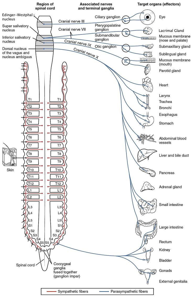 25 Best Nervous System Ide S P Terest Nervous System