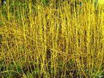 Cornouiller jaune - Le cornouiller jaune est une plante médicinale polynésienne (maori) dont l'utilisation est dans le traitement de nombreux problèmes et maladies respiratoires. Le Tainui or autre nom du cornouiller jaune est efficace pour soigner la bronchite et la tuberculose pulmonaire, la toux et le... https://www.complements-alimentaires.co/wp-content/uploads/2014/09/cornouiller_jaune_Pomaderris_elliptica.jpg - Par Nathalie sur Compléments alimentaires  #Lespl