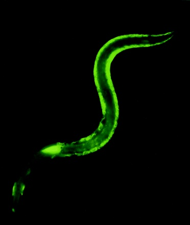 Epifluorescence micrograph of green fluorescent protein-labeled Xenorhabdus nematophila bacteria being released from the intestine of an infective juvenile-stage Steinernema carpocapse nematode