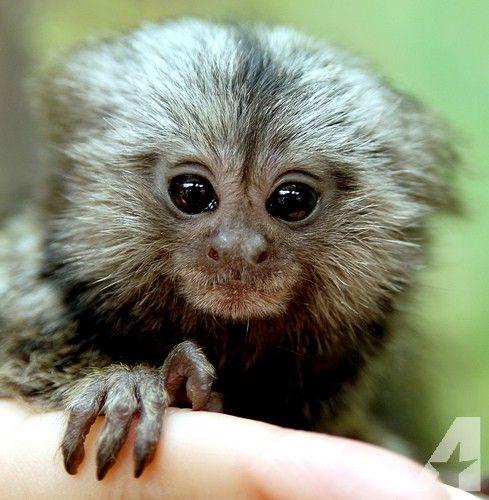 Baby cute Pygmy Marmoset Monkey (DwergzijdeAapje)