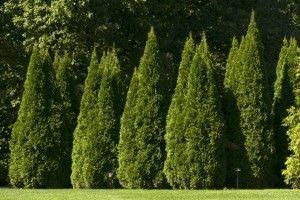Thuja occidentalis 'Smaragd' - Good privacy shrub.