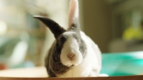 Rabbit, Hare, Sweet (Emotion), Pet (Animal), Keeping of Animals, Resting (Animal), Home (At Home), Looking at Camera, 1 (Quantity), No People,