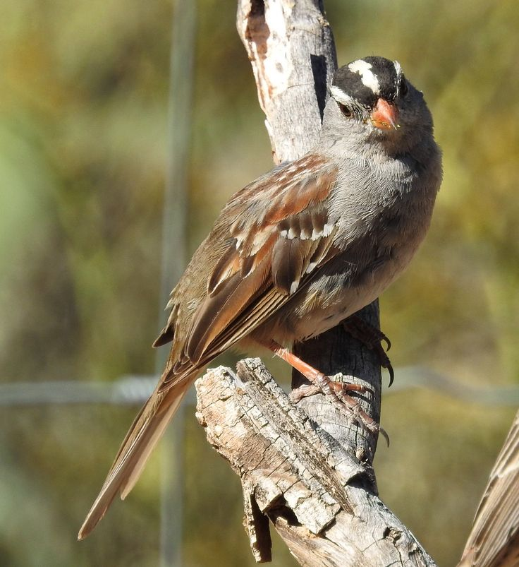 41 best White-Crowned Sparrow images on Pinterest | Birds ...