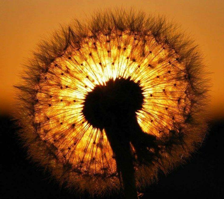 Pin By Dana Grisko On Foto Love Dandelion Dandelion Flower Lion Flower