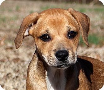 Glastonbury, CT - Beagle/Boxer Mix. Meet JoJo, a puppy for adoption. http://www.adoptapet.com/pet/17309417-glastonbury-connecticut-beagle-mix