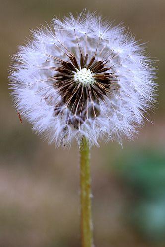 Dandelion   by Crisp-13