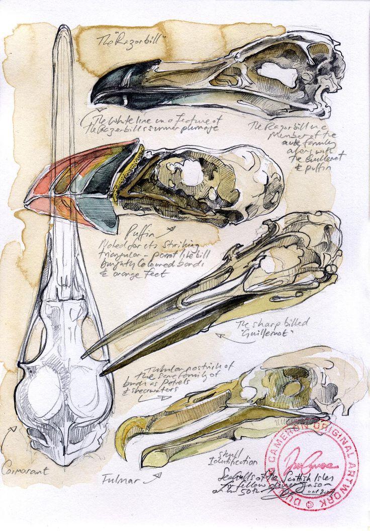 Seagull skull studies. www.duncancameron.org