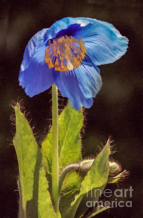 A backlit Himalayan Blue Poppy, Meconopsis species.
