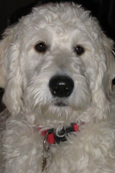 F1 English Goldendoodle#, named Gus at 5 years old.