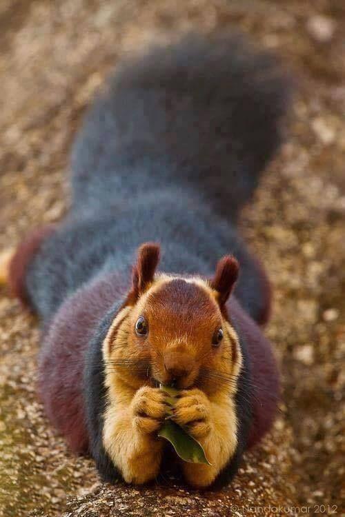 Écureuil géant de matabar