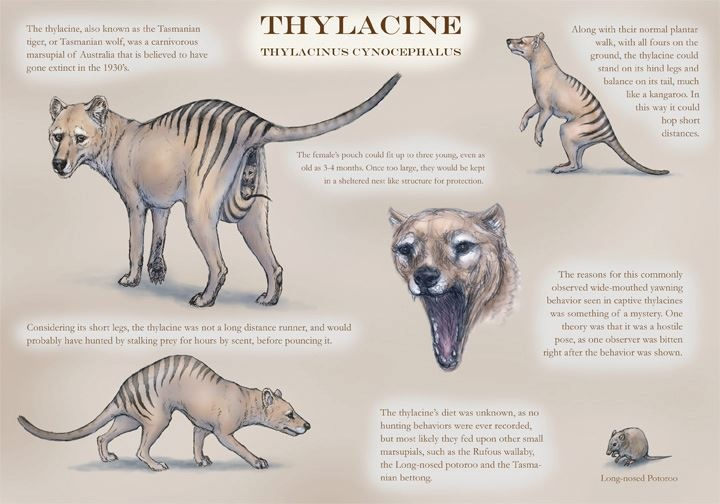 Thylacinus cynocephalus : Tasmanian Tiger | carnivorous #marsupial by *JennyParks on @deviantART http://jennyparks.deviantart.com/art/Thylacinus-cynocephalus-47821062