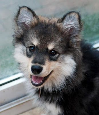17 Best images about Finnish Lapphund on Pinterest | Dog ...