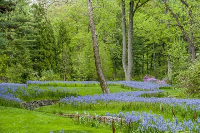 Camassia planted in the lawn at Chanticleer Garden