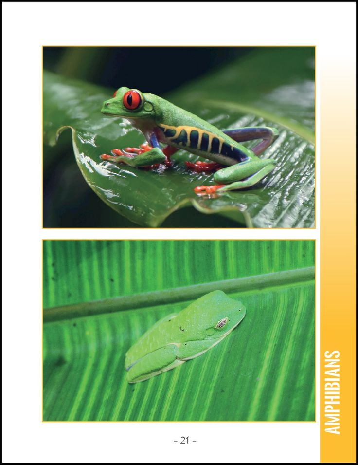 Wildlife in Central America; 25 Amazing Animals Living in Tropical Rainforest and River Habitats. Part of Wildlife Around the World Series.   Photographs and Text by Cyril Brass.  Sample - Page 21 Red-Eyed Tree Frog