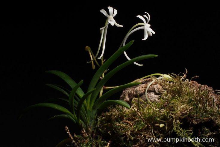 Neofinetia falcata pictured flowering inside my White Orchid Trial Terrarium.