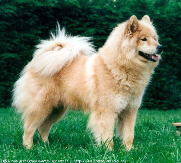 21 best images about the eurasier dog on pinterest. Black Bedroom Furniture Sets. Home Design Ideas