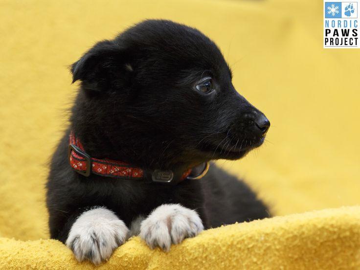 Un Femelle Husky-x named Shanhi Disponible pour Adoption A besoin d'une famille - Animatch Service d'Adoption de Chiens