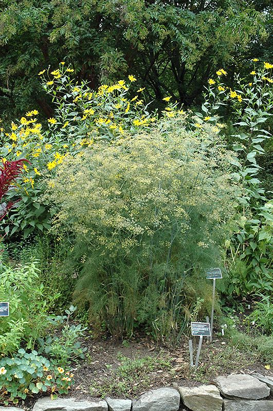 Click to view full-size photo of Fennel (Foeniculum vulgare) at Bachman's Landscaping