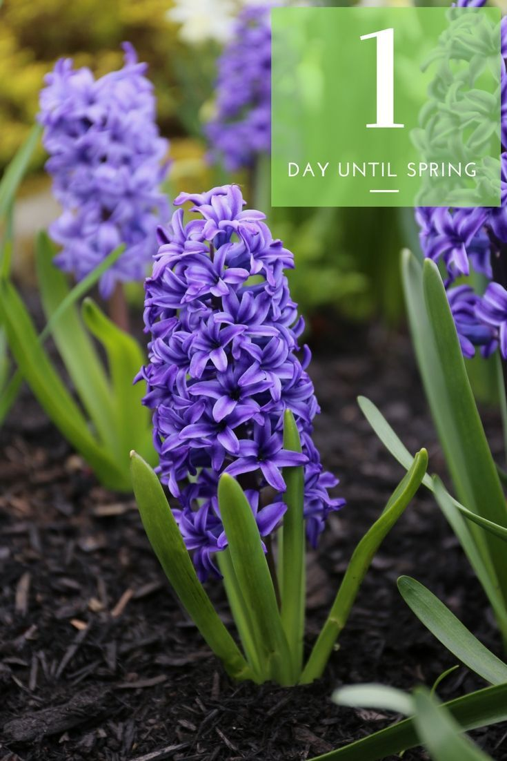 Spring Is Less Than 24 Hours Away Spring Countdown Longfield Gardens Hyacinths Garden Bulb Flowers