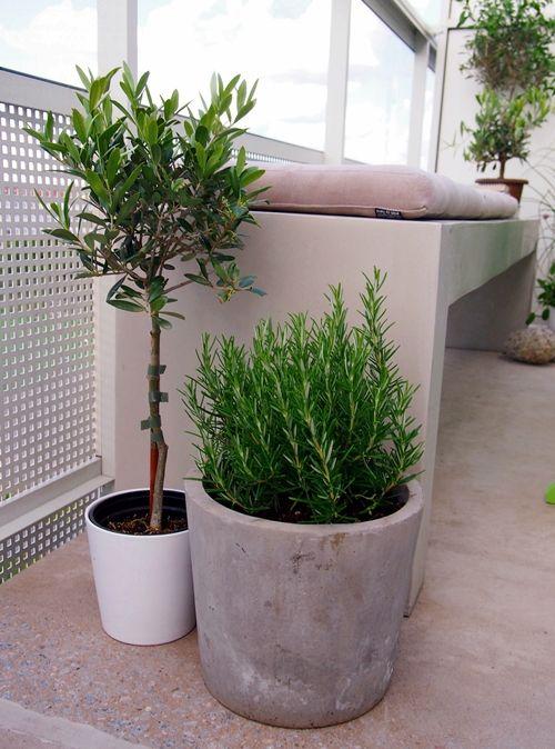 Hitta hem | Olive trees + Rosmary plant