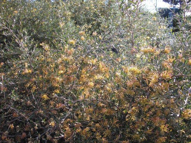 Grevillea Orange Box --- For more Australian native plants visit austraflora.com
