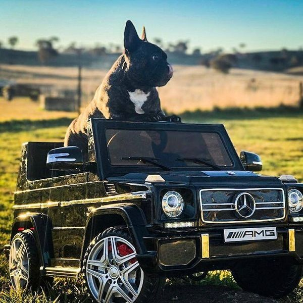 """Living the Boss Life!"" ""... but not really, that's just me on Facebook, I'm really just a Ranch Hand on the Farm in a battery powered Benz"", funny French Bulldog"