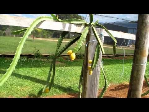 How To Grow Yellow Dragon Fruit or Pitaya Vine - Training them