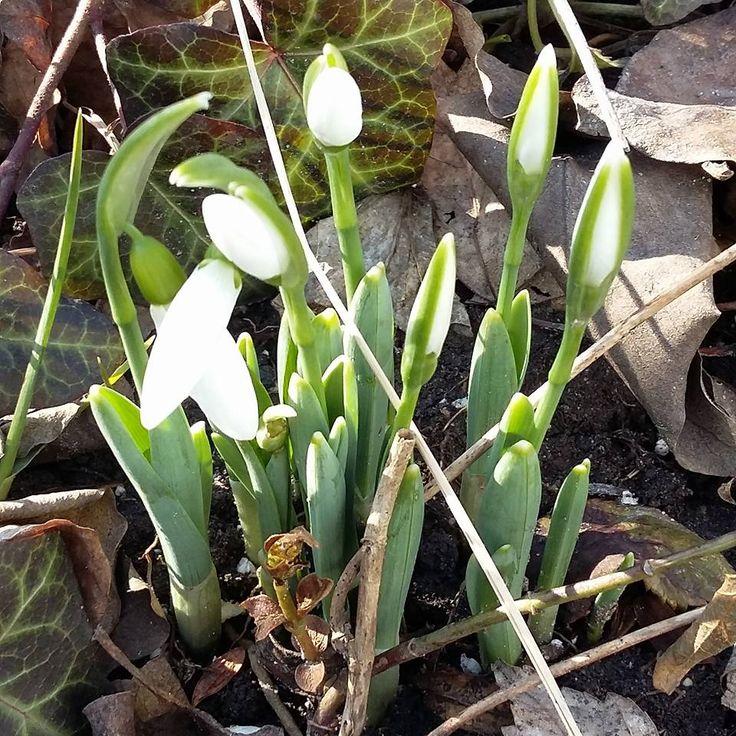 Hóvirágok, tavasz :)  Snowdrops, spring :)