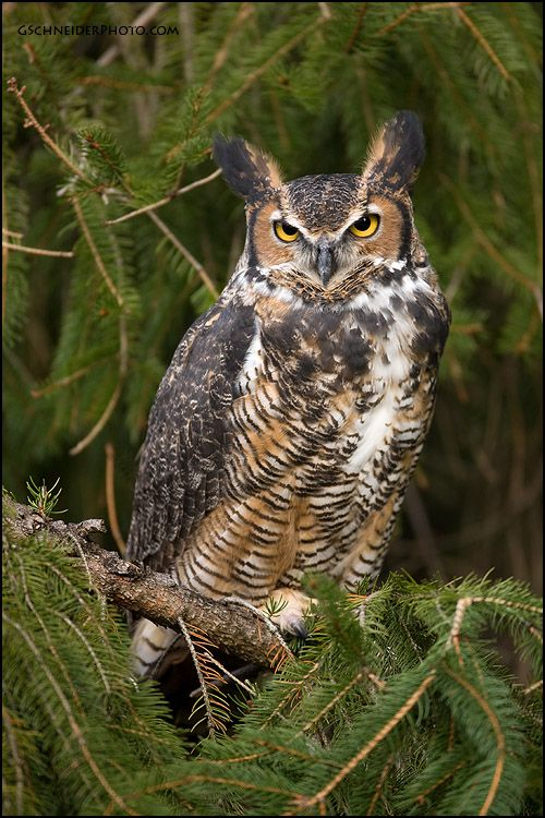 ☀Great Horned Owl by ~gregster09  Just flew down into my back yard...let me watch him...he saw me..those yellow eyes!! Blue jays chased him away.  10:30 am