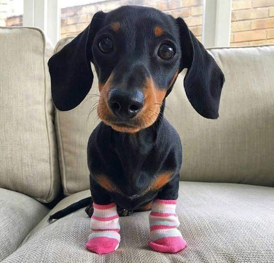 Supa Dogs Dachshunds Loves Socks Supa Dogs Cute Dogs