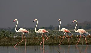The Greater Flamingo (Phoenicopterus roseus) is found in the coastal regions of India and is the state bird of Gujarat.  This is the largest species of flamingo. The call is a goose-like honking.  The bird resides in mudflats and shallow coastal lagoons with salt water. Using its feet the bird stir up the mud, then sucks water through its bill and filters out small shrimp, seeds, blue-green algae, microscopic organisms and mollusks.