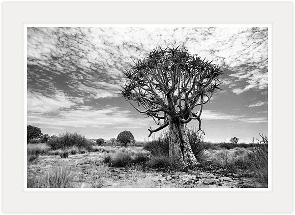 Ancient tree black and white fine art photography by south african master photographer